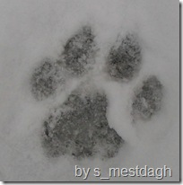 Mountain lion paw print
